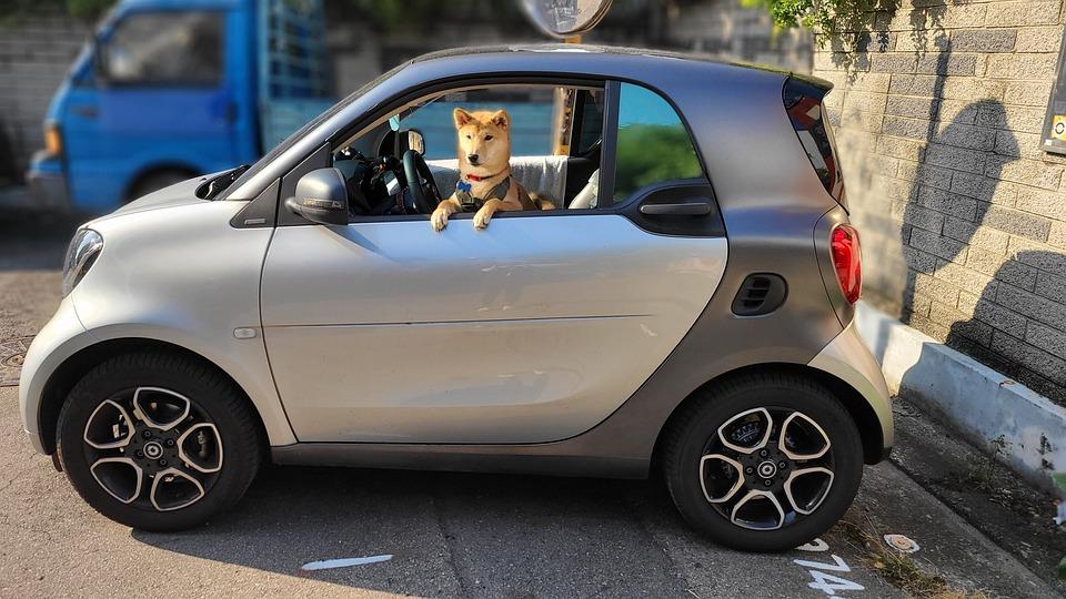 Shiba Inu, 狗, 车, 宠物, 狗品种, 纯繁, 哺乳动物, 动物, 家养, 家养的狗, 肖像