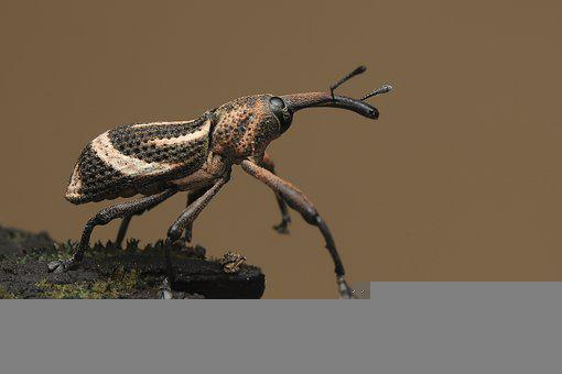 Bug, Weevil, Scarab, Insect, Creature