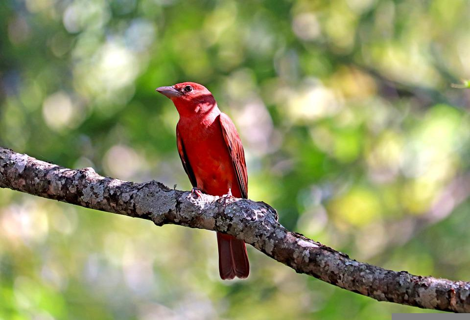 Summer Tanager, Red, Bird, Feathers, Plumage, Ave