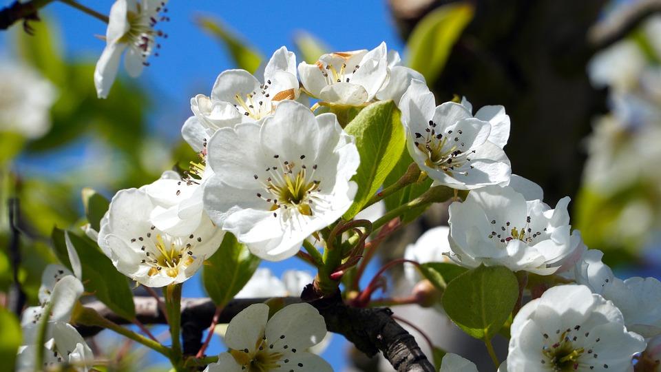 Apple Tree, Flower, Branch, Spring, White Flowers