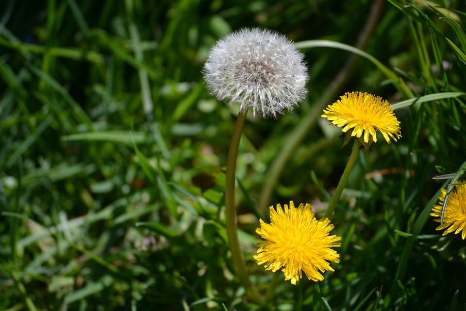 Dandelions, Flowers, Seeds, Seed Head, Blowball, Fluffy