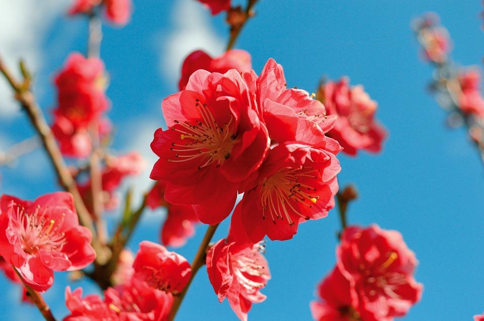 Fiori, Fiore Di Pesco, Petali, Ramo, Albero, Primavera