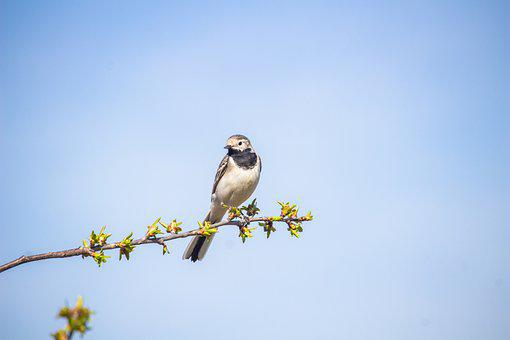 セキレイ, 鳥, 支店, 座っている, 動物, 野生動物, 鳴き鳥, 小さな鳥