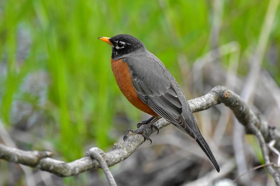 American Robin, Bird, Branch, Perched, Robin, Animal