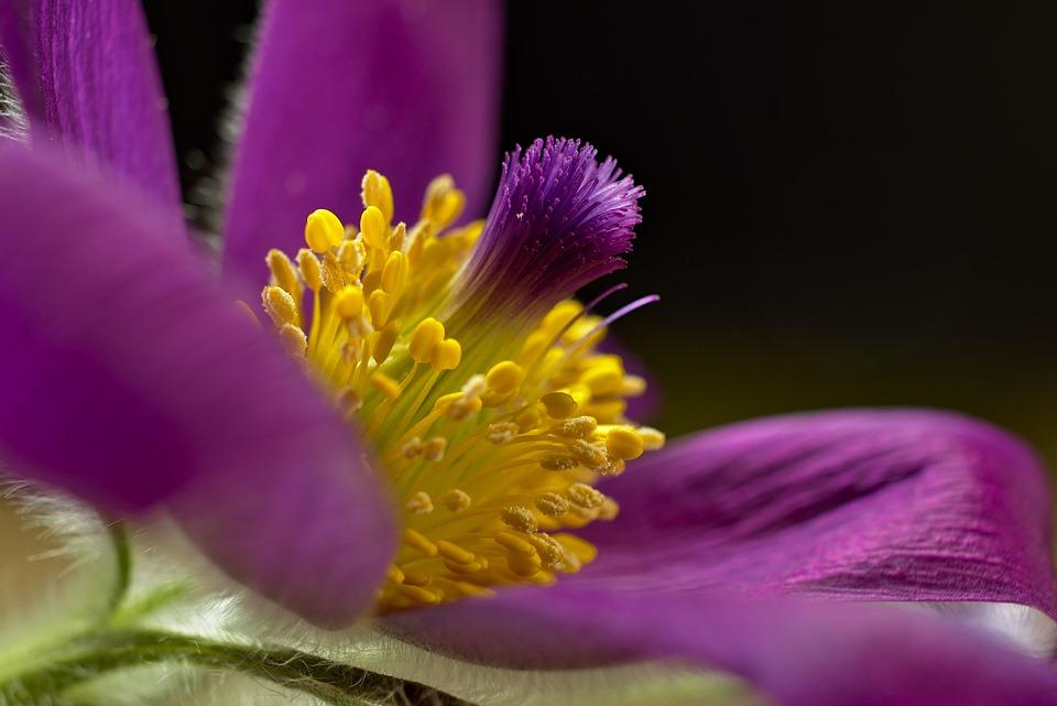 Съсънка, Цвете, Плодника, Pulsatilla, Лилаво Цвете