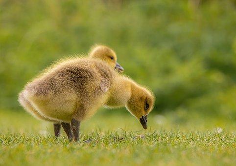Geese, Goslings, Birds, Chicks