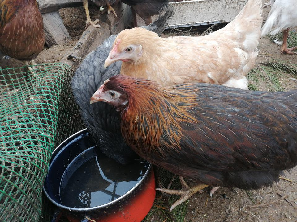 Pullet chickens drinking water