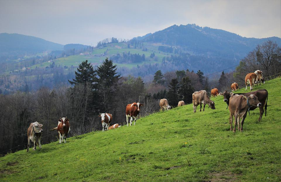 Cattle, Herd, Grazing, Animals, Cows, In The Mountains