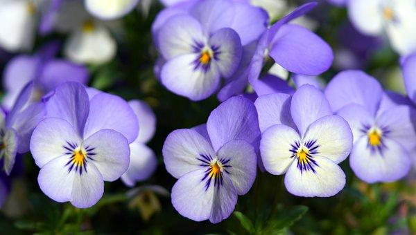 花, パンジー, 花びら, ブルーム, 紫, 春, 庭, 自然, 植物