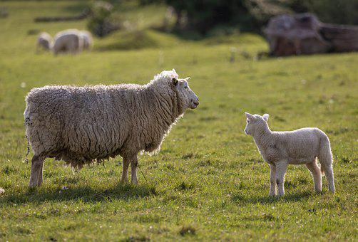 Sheep, Lamb, Farm, Pasture, Livestock