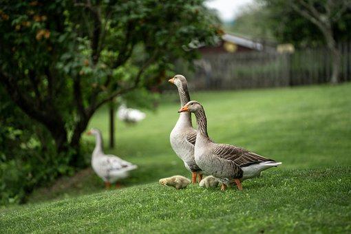 Greylag Geese, Goslings, Meadow, Geese