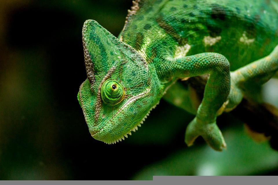 https://cdn.pixabay.com/photo/2021/06/03/15/45/chameleon-6307349_960_720.jpg