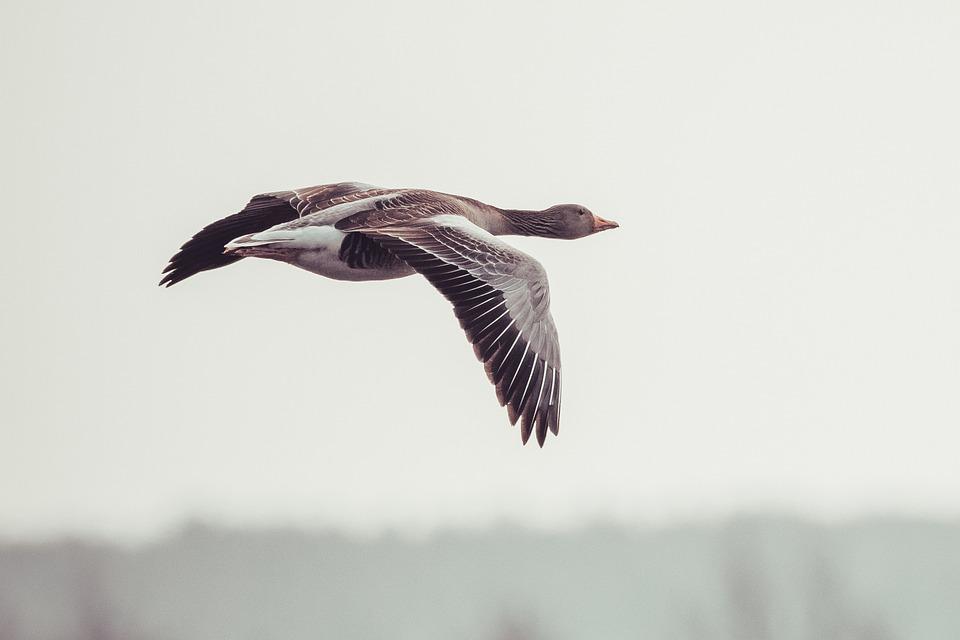 Goose, Bird, In Flight, Greylag Goose, Waterfowl