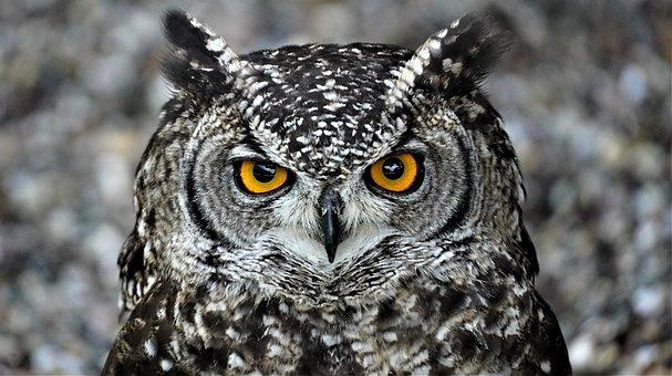 Owl, Bird, Owl Eyes, Nature, Animal
