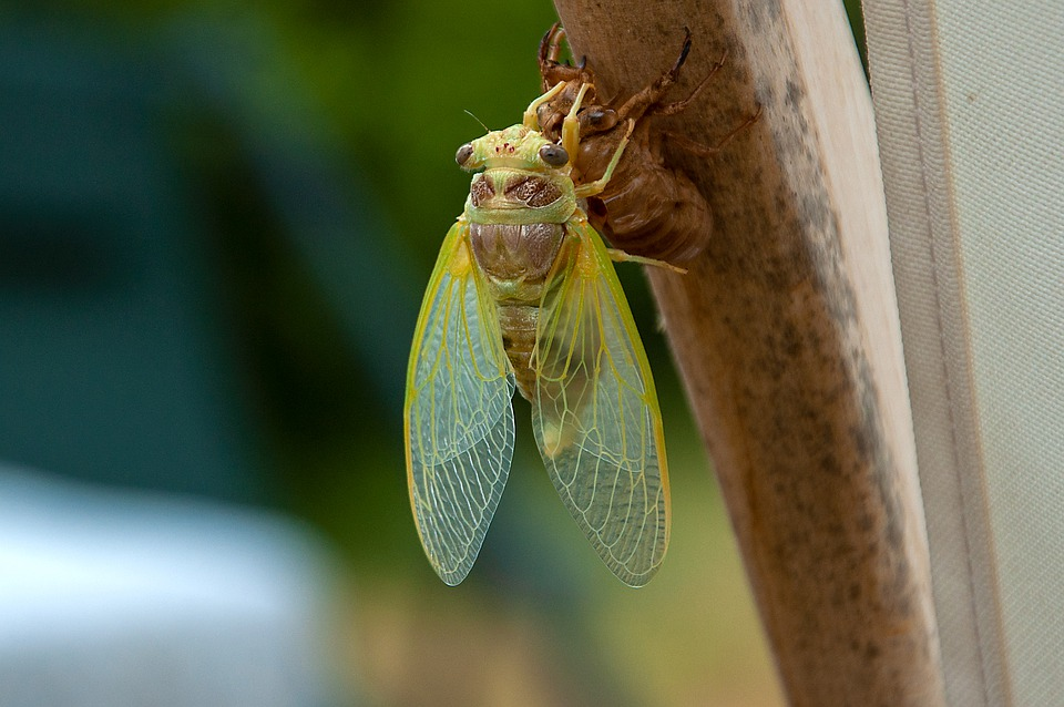 Cicada, Moult, Insects, Metamorphosis, Wings, Moulting