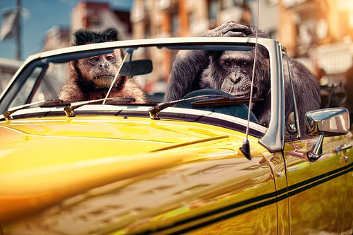 Car, Monkeys, Driving, Animals, Primates