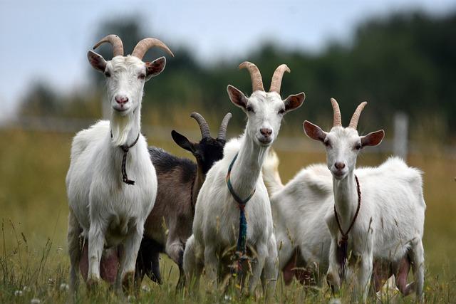 ziegen tiere herde  kostenloses foto auf pixabay
