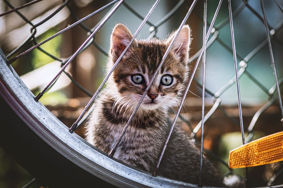猫, 子猫, ホイール, ペット, 若い猫, 動物, 国内の猫, ネコ, 哺乳動物, ハローキティ, かわいい