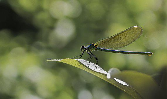 Dragonfly, Insect, Macro, Wings