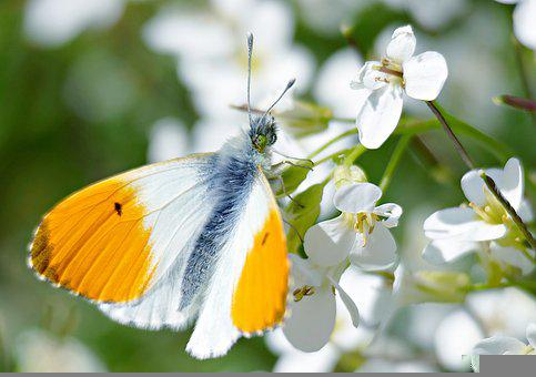 Aurora Butterfly, Butterfly, Butterflies