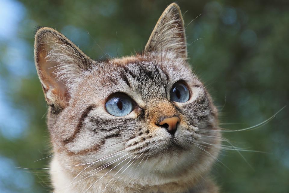 Kot, Pet, Koci, Zwierząt, Futro, Wiskery, Smutne Oczy
