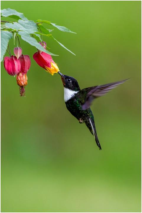 Collared Inca, Bird, Hummingbird, Animal, Wildlife