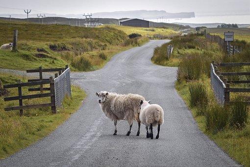 Road, Sheep, Rural, Farm, Animals