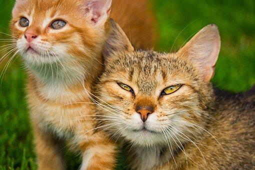 Kitten, Kat, Huisdier, Katachtig, Dieren