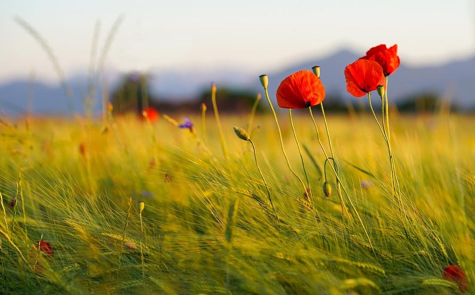 Poppies, Field, Meadow, Wheat Field, Field Of Poppies