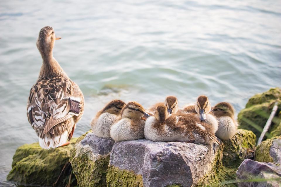 Ducks, Ducklings, Mallards, Birds, Perched, Lake