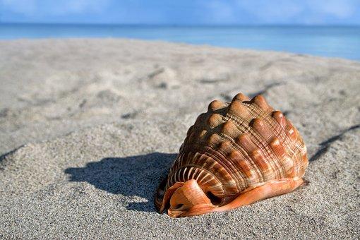 貝殻、巨大巻貝、Cypraeacassis Rufa、あさり