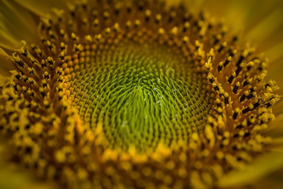 Słonecznik, Kwiat, Pyłek Kwiatowy, Kwitnąć, Flora