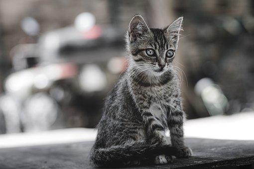 Cat, Kitten, Feline, Fur, Mammal, Animal