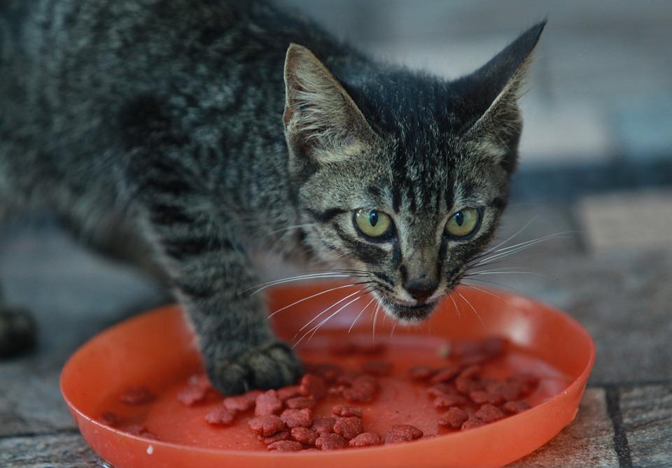 Cat, Pet, Feline, Animal, Fur, Eating, Whiskers, Kitty