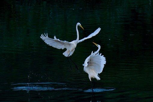 Common Heron, Birds, Egret, Wings, Wild