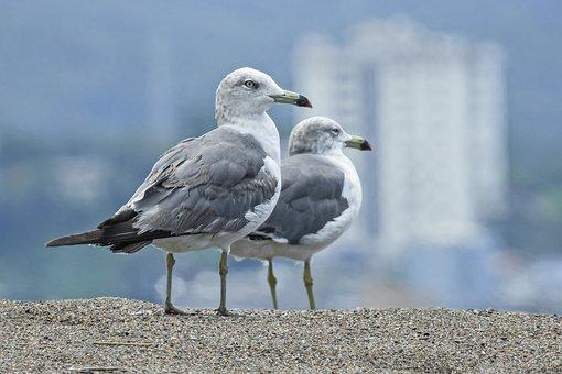 カモメ, 鳥, 海, 海鳥, 水鳥, 波, 動物, 羽毛, 羽, くちばし
