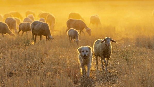 Sheep, Herd, Dog, Livestock, Grazing