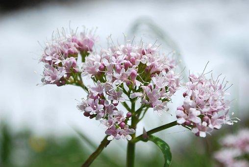 Valerian, Flowers, Plant, Pink Flowers