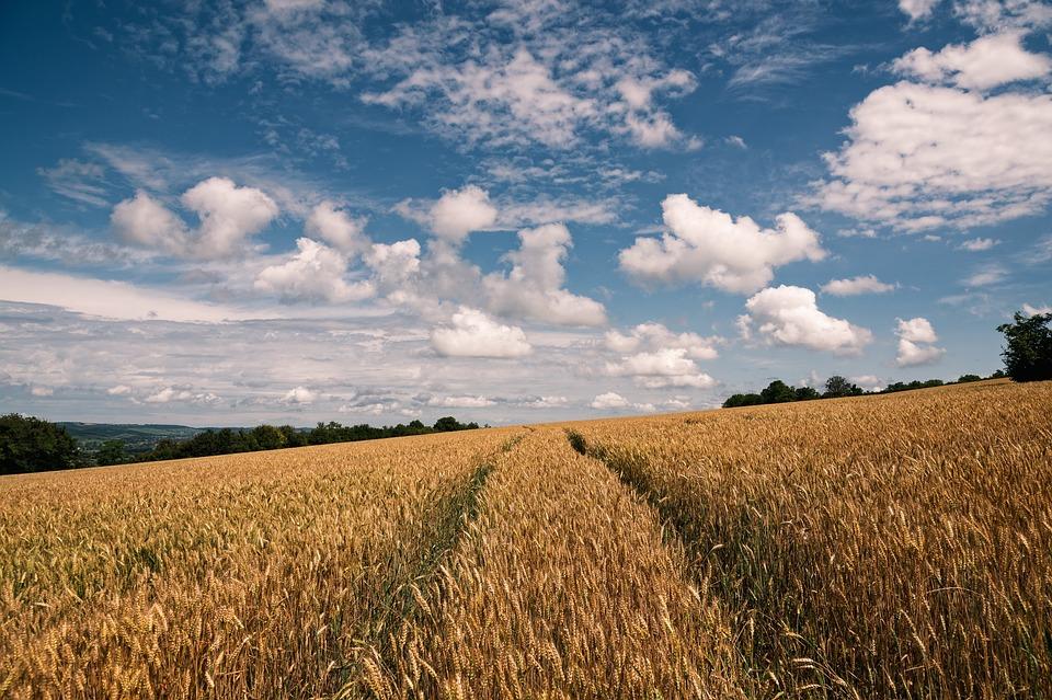 Wheat, Field, Sky, Clouds, Wheat Field, Barley, Crops