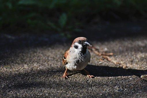 Bird, Sparrow, Ornithology, Species
