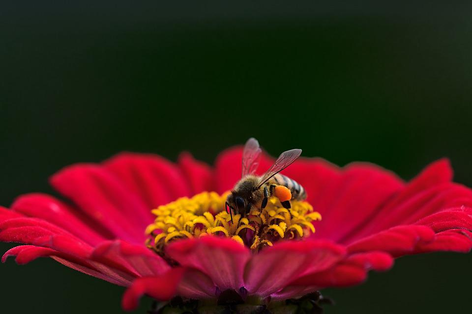 Flower, Bee, Pollination, Honey Bee, Blossom, Bloom